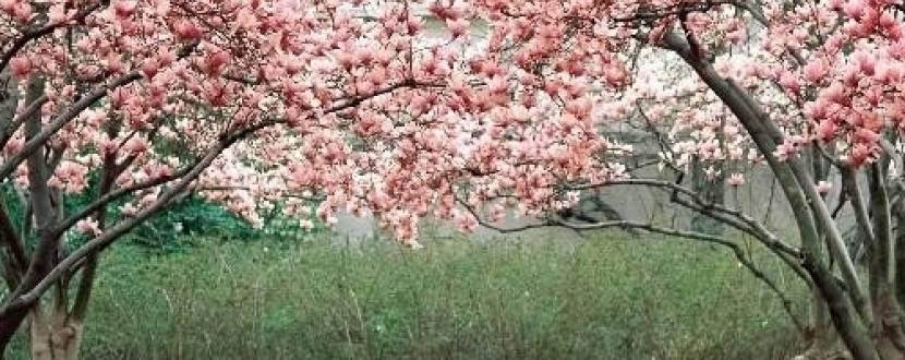 Закарпаття у цвіті сакур