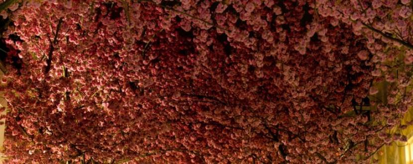 Екскурсія «Українська Японія – ніжне цвітіння закарпатської сакури»