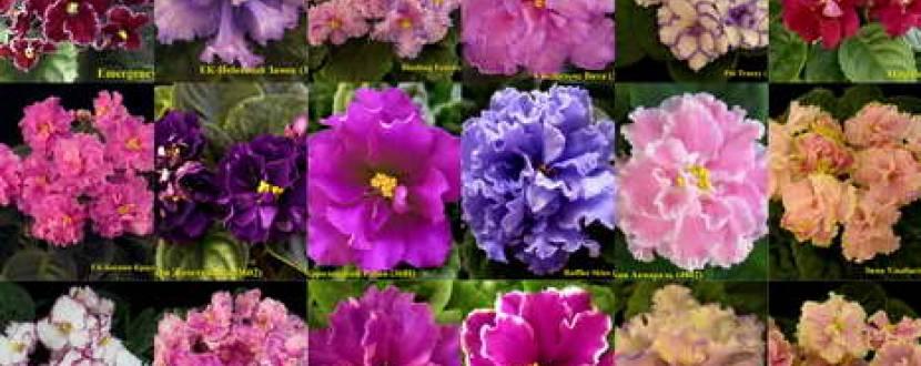 Виставка фіалок «Розовые мечты» в Природознавчому музеї