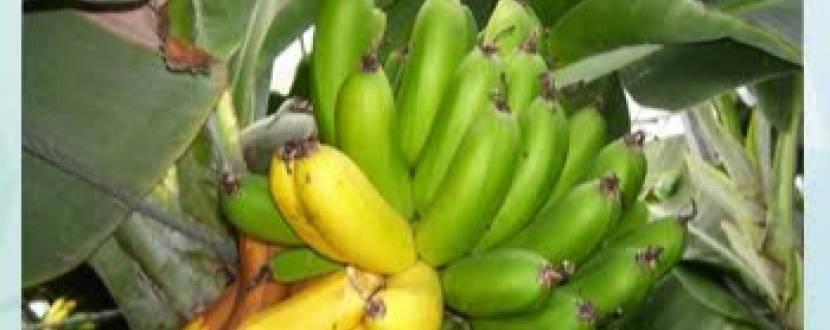 Екскурсія на бананову ферму
