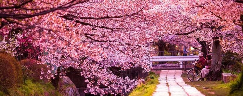 Цвіт сакури в Закарпатті - подорож