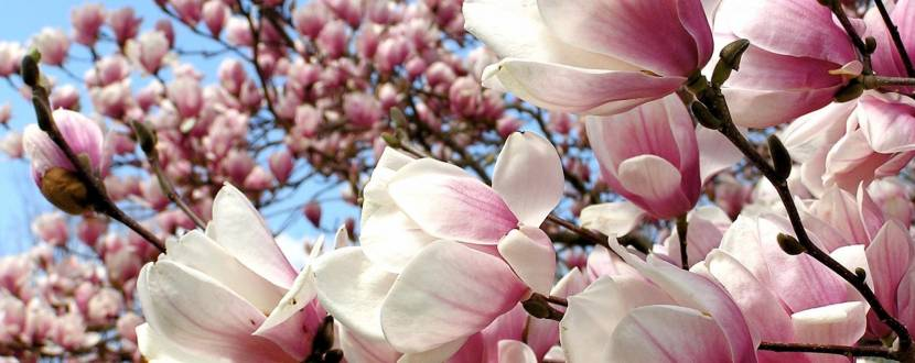 Цвіт магнолій - День відкритих дверей у Ботанічному саду