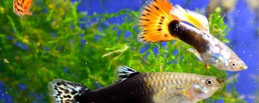 Барви гуппі плюс - Виставка акваріумних риб