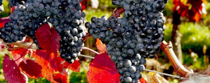 Майстер-клас «Осінній виноград»