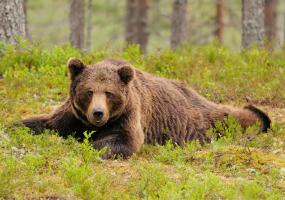 В гості до бурих ведмедів - екскурсія