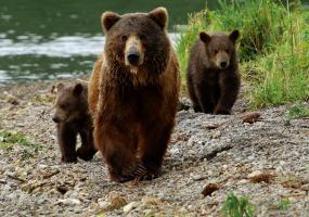 Ведмеді. Зародження життя - Документальний фільм