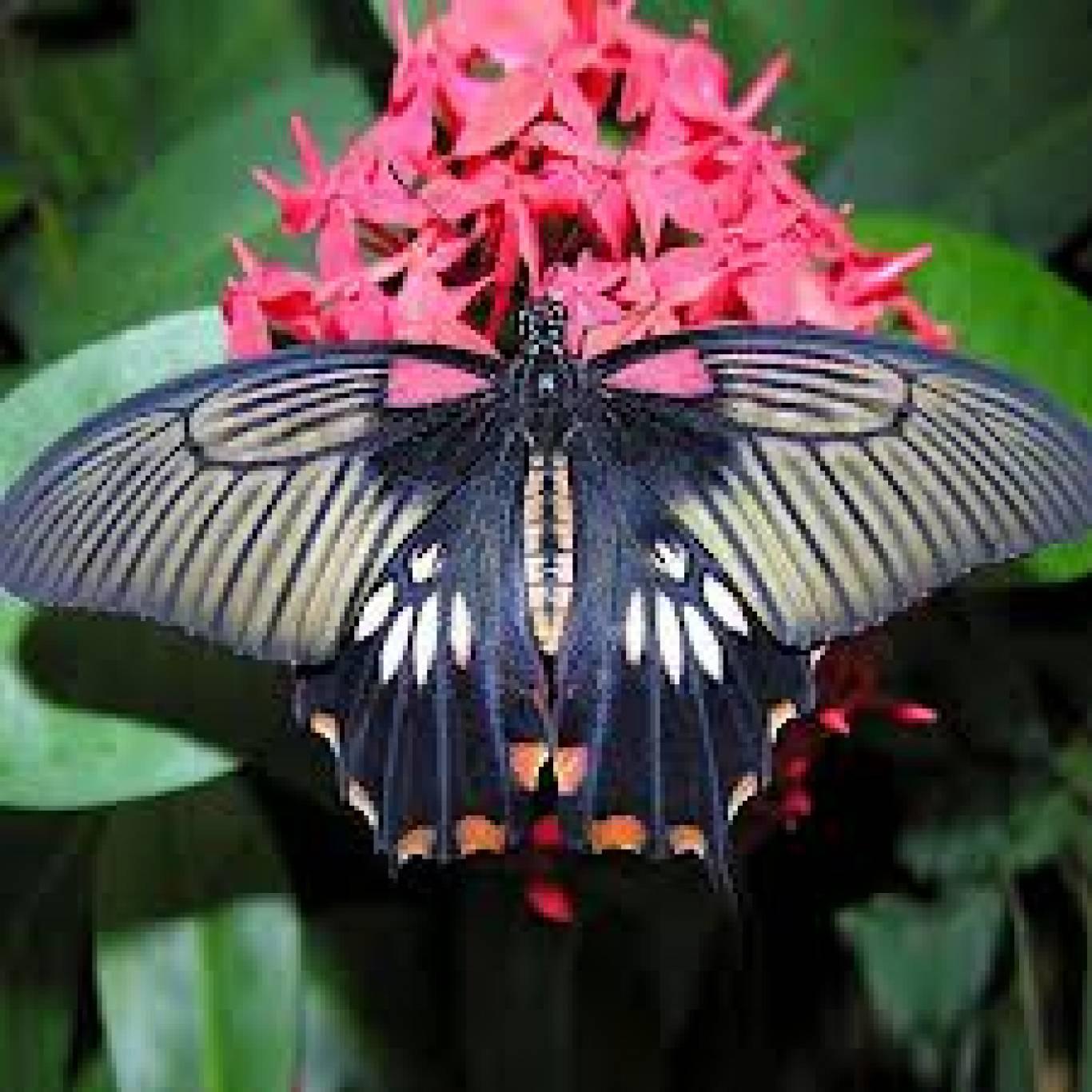 Екзотичні метелики