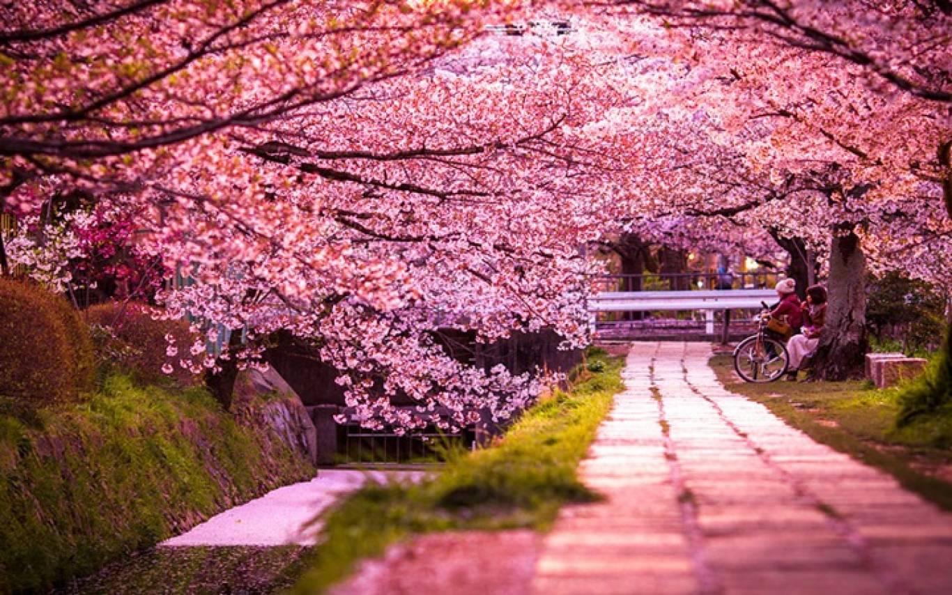 Цвітіння сакури на Закарпатті