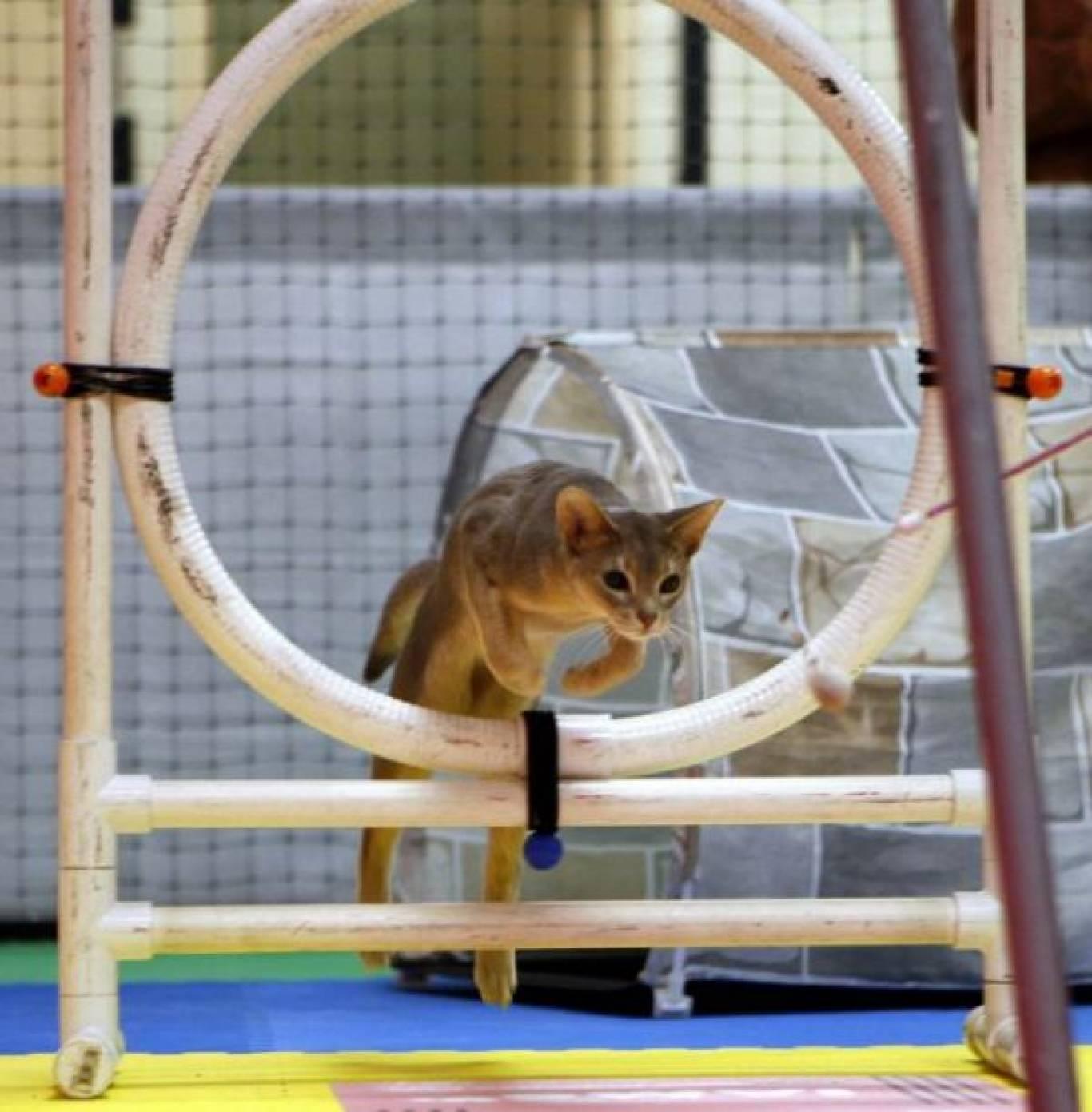 Виставка котів RUI Cat Show в рамках XIX Відкритого Чемпіонату України