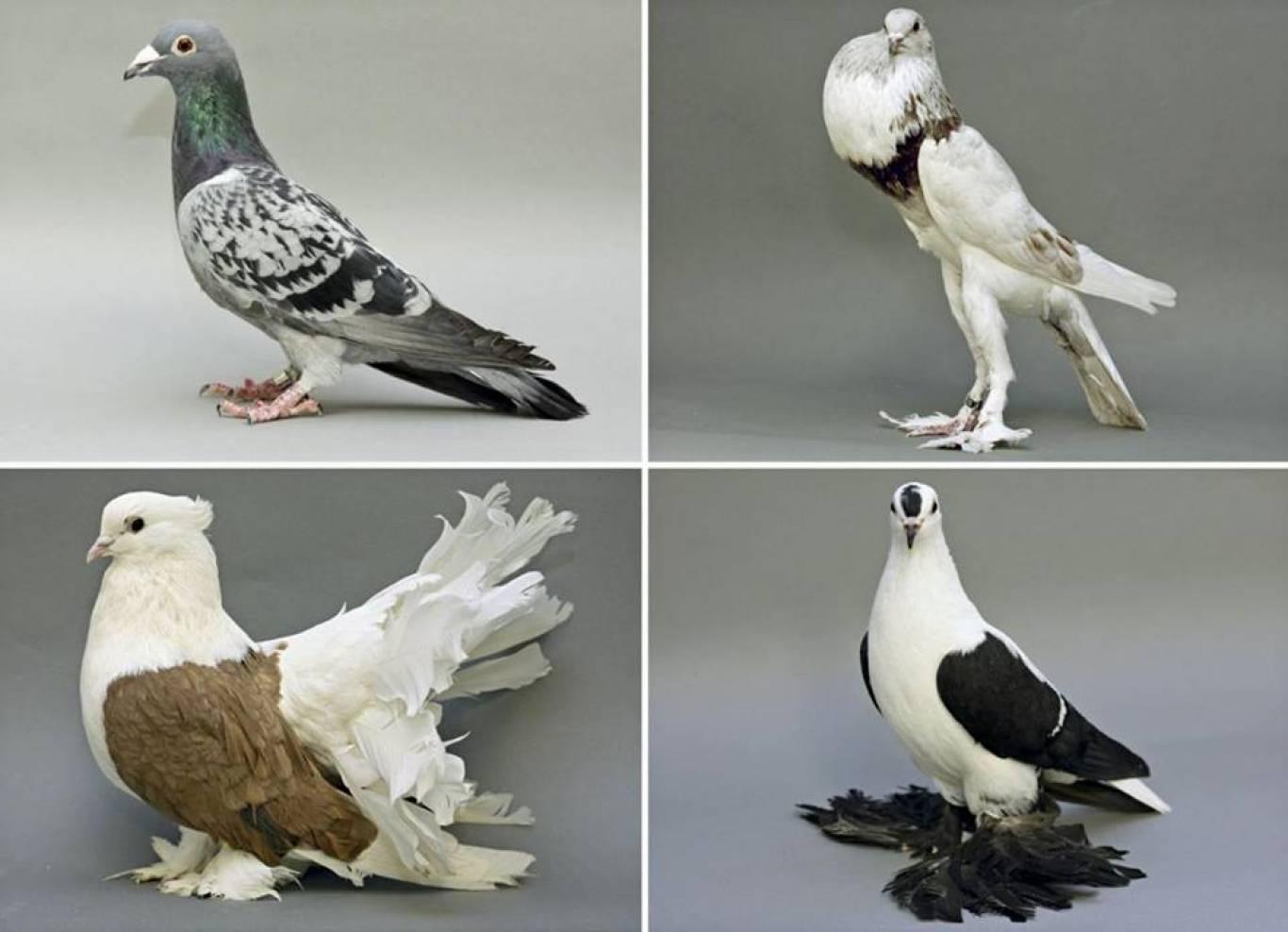 Виставка декоративних голубів