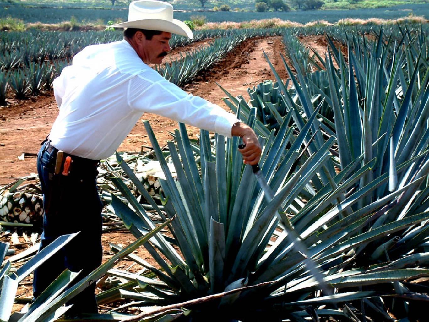Текила и мескаль. Крепкая гордость Мексики