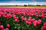 Подорож до  Чернівців + долина тюльпанів!