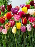 Онлайн-виставка тюльпанів на Співочому полі