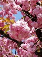 Цвітіння сакури в Закарпатті