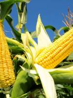 Дні солодкої кукурудзи у Києві