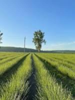 Лавандове поле поблизу Львова
